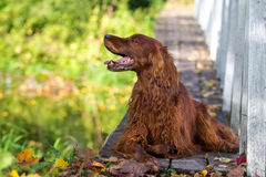 Red irish setter dog. In autumn wooden bridge Royalty Free Stock Photography