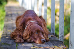 Red irish setter dog. In autumn wooden bridge Stock Photo
