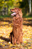 Red irish setter dog Royalty Free Stock Photography