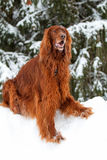 Red irish setter dog. In winter forest Royalty Free Stock Photo