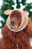 Red irish setter dog. With knitting horns Royalty Free Stock Images