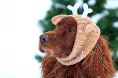 Red irish setter dog. With knitting horns Stock Photography