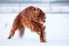 Red irish setter dog. In snow field Stock Photos