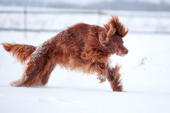 Red irish setter dog. In snow field Royalty Free Stock Photo