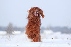 Red irish setter dog. In snow field Stock Images