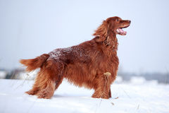 Red irish setter dog. In snow field Royalty Free Stock Photos