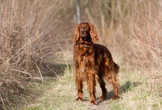 Red irish setter dog, dog for a walk Stock Images
