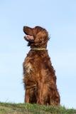 Red irish setter dog, dog for a walk Royalty Free Stock Photo
