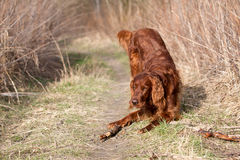 Red irish setter dog, dog for a walk Royalty Free Stock Images