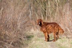 Red irish setter dog, dog for a walk Stock Photo