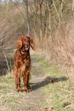 Red irish setter dog, dog for a walk Royalty Free Stock Photography