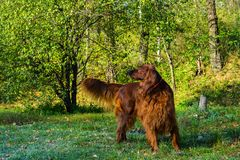 Red irish setter dog in green forest royalty free stock photos