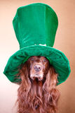 Irish setter. Red irish setter dog in green hat Stock Photography