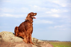 Red irish setter. Dog on rock Royalty Free Stock Photos