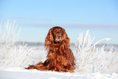 Red irish setter. Dog in snow field Stock Photo