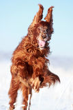 Red irish setter. Dog in snow field Stock Image