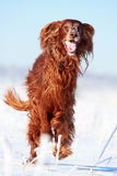 Red irish setter. Dog in snow field Royalty Free Stock Photography