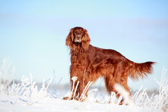 Red irish setter. Dog in snow field Stock Photos