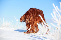 Red irish setter. Dog in snow field Stock Images