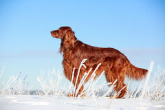 Red irish setter Royalty Free Stock Images