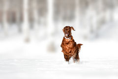 Red irish setter dog in snow field Royalty Free Stock Photo