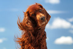 Red irish setter dog turn head. On blue sky with clouds Royalty Free Stock Photo