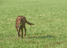 Red Irish Setter on grass Royalty Free Stock Photography