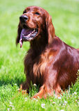 Red Irish Setter lying  at park Royalty Free Stock Photography