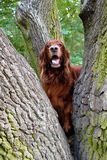 Red irish setter pursuit of a squirrel stock photography