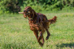 Red Irish Setter running ,selective focus on the dog Royalty Free Stock Photo