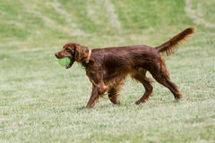 Red Irish Setter running ,selective focus on the dog Royalty Free Stock Image