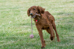 Red Irish Setter running ,selective focus on the dog Stock Image