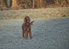 Red Irish Setter on snow in winter Royalty Free Stock Images