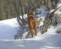 Red Irish Setter on snow in winter Royalty Free Stock Image