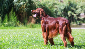 Red Irish Setter standing on grass Stock Image