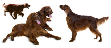Red Irish Setters, isolated on white Stock Photography