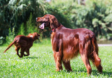 Red Irish Setters  at park Stock Photography