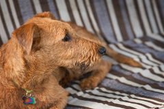 Red Irish terrier. Dog, pet Royalty Free Stock Photos