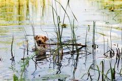 Red Irish terrier. Dog, pet. Irish Terrier swims on the lake royalty free stock photo