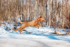 Irish Terrier jumping in the snow on the background of trees Royalty Free Stock Photography