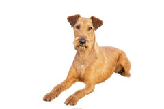 Red irish terrier, lovely friendly dog isolated on white. stock image
