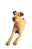 Red irish terrier, lovely friendly dog isolated on white. royalty free stock photography