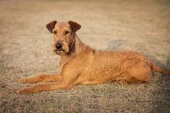 Red irish terrier, lovely friendly dog walking outdoor stock image