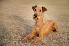 Red irish terrier, lovely friendly dog walking outdoor stock photography