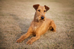Red irish terrier, lovely friendly dog walking outdoor royalty free stock image