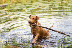 Red Irish terrier pulling a wooden stick from a lake. Irish Terrier swims on the lake stock images