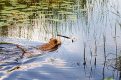 Red Irish terrier pulling a wooden stick from a lake. Irish Terrier swims on the lake stock photos