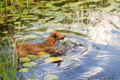 Red Irish terrier pulling a wooden stick from a lake. Irish Terrier swims on the lake royalty free stock photography
