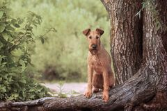 Free Red Irish Terrier Sitting In A Tree Stock Photo - 203462500