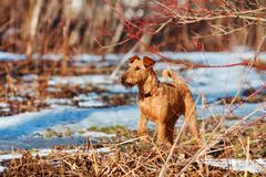 Irish Terrier walks in the forest in spring Stock Images
